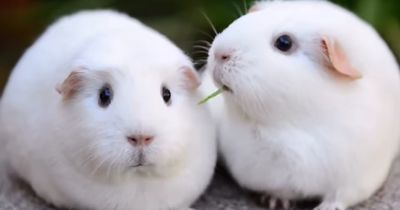 The look on this disappointed guinea pig's face will make you cry