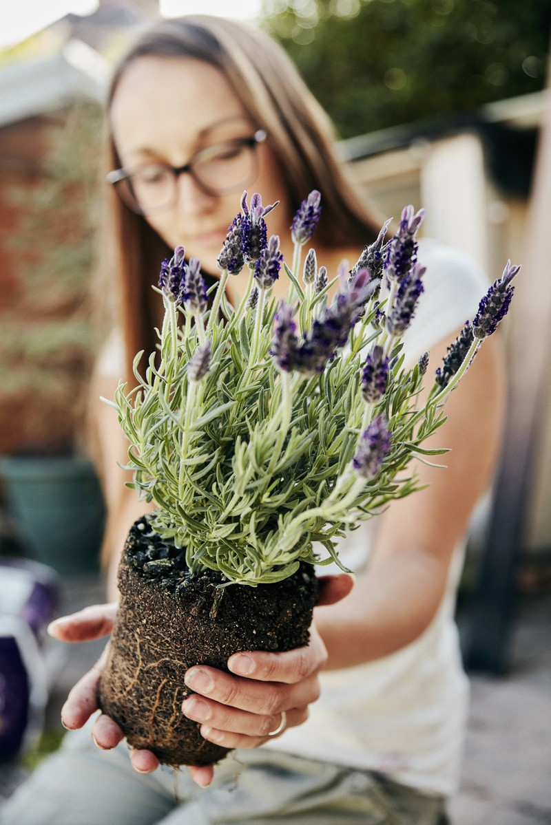 The plant that keeps spiders out of your home is called lavender.