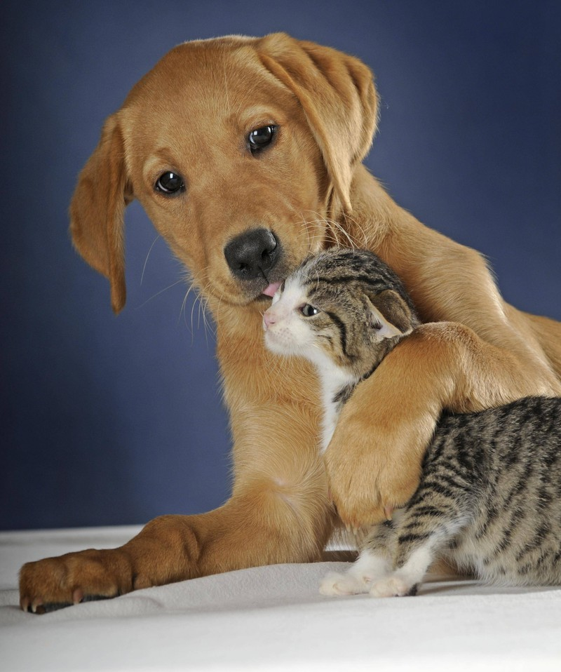 A dog carefully cleans a kitten.