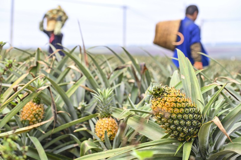 Most people don't know that pineapples grow close to the ground.